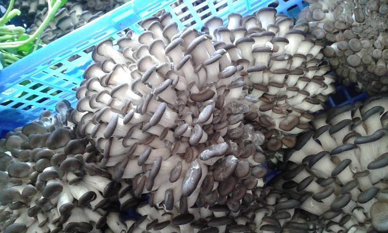 Pleurottes en pomponnettes