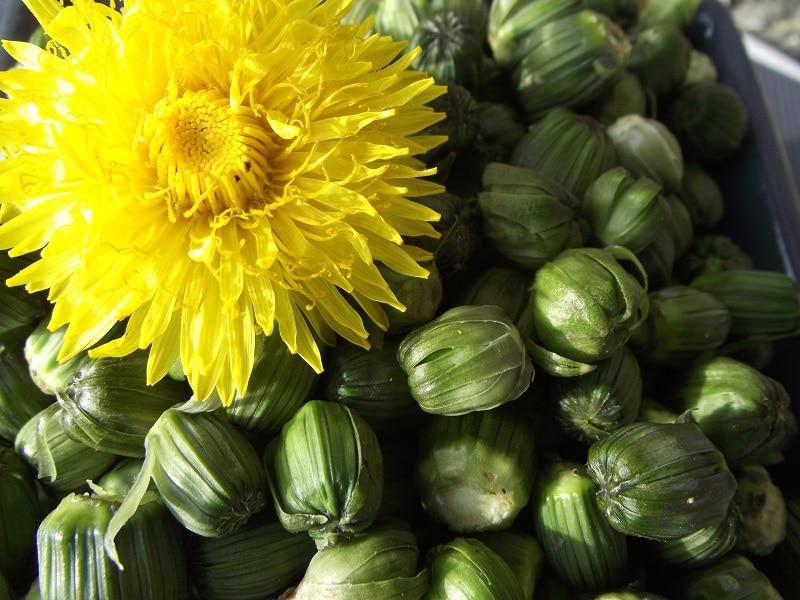Recette détox avec ces boutons de fleur de pissenlit au vinaigre de cidre