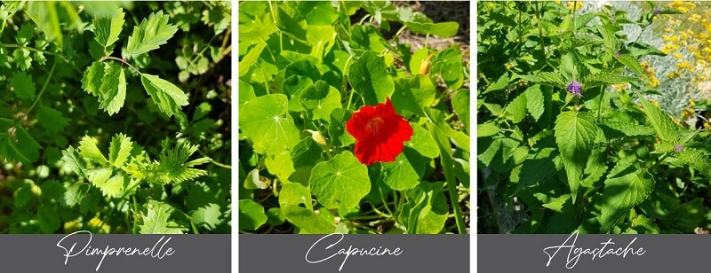 Plantes du jardin pour pesto gourmand et fleuri